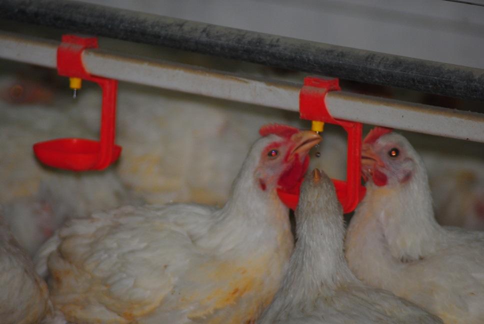 شراء Poultech Algerie Fabrication & installation & Vente Materiel Avicole Votre partenaire pour tous vos projects avicoles