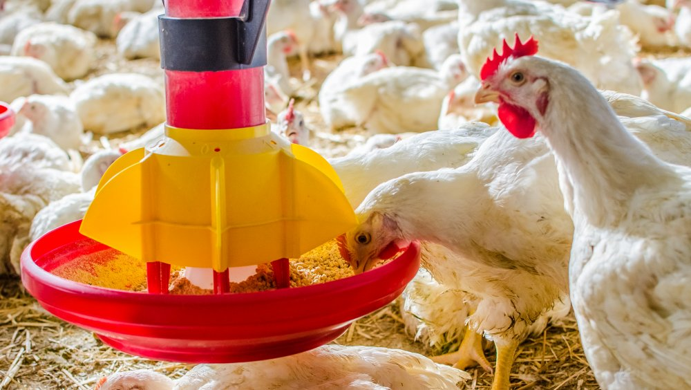 شراء Alimentation italien de poulet de chair
