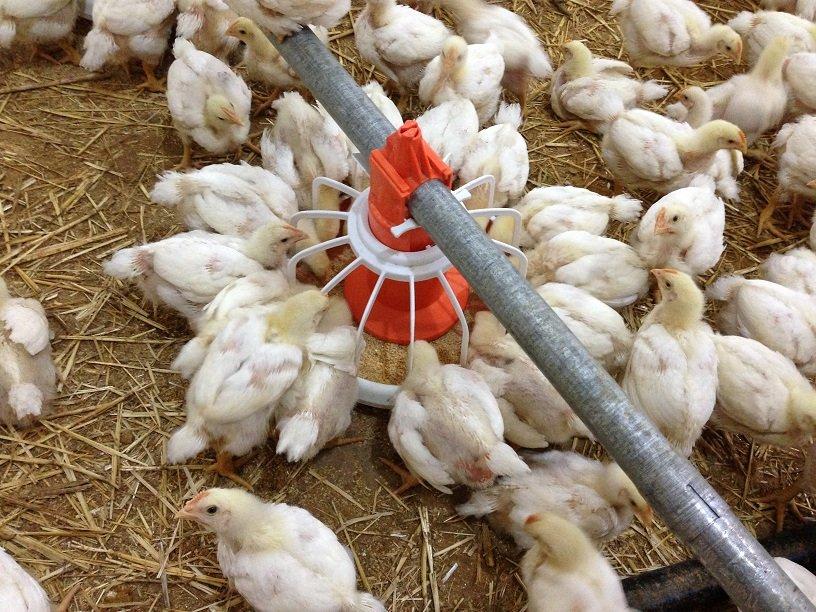شراء تجهيزات تربية الدواجن system d'alimentation de poulet de chair/ dinde