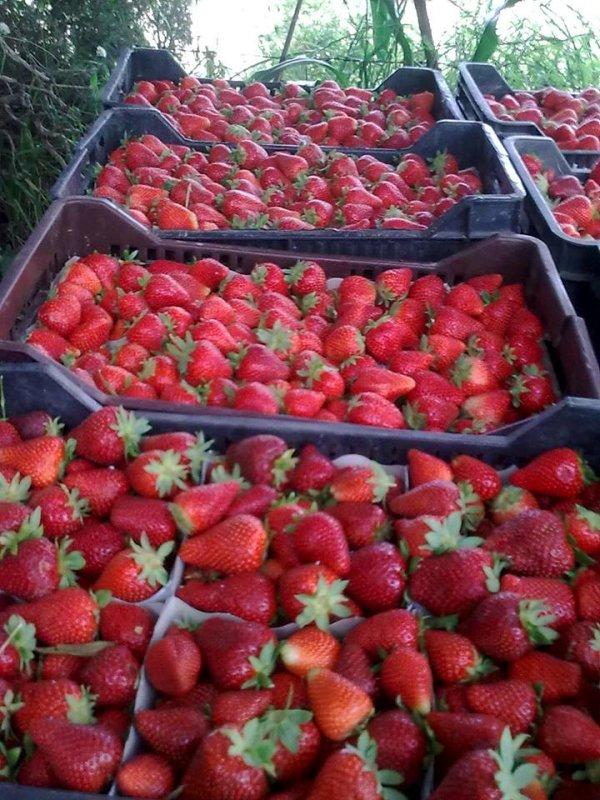 شراء Strawberries