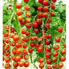 شراء Cherry tomatoes