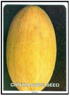 Semences de melon California Relizane