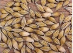 Les graines d`orges