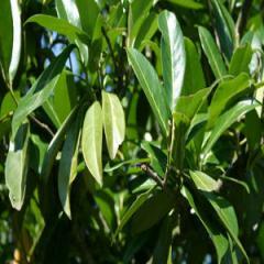 Laurier Palm
