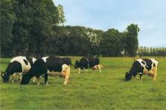 Pedigree-cow