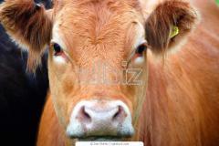 أبقار و عجول