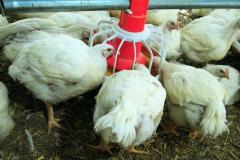 System d'alimentation italien de poulet de chair