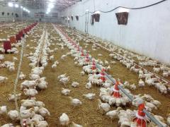 تجهيزات تربية الدواجن system d'alimentation de poulet de chair/ dinde