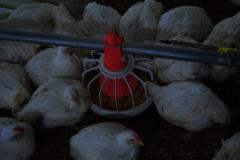 تجهيزات تربية الدواجن system d'alimentation italien de poulet de chair
