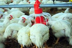 System d'alimentation de poule de  chaire et dinde et repro /انطمة التغذية والسقي الاوتوماتيكية للدواجن
